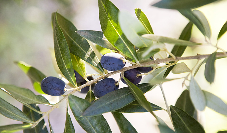 An olive tree branch at the Jaeger Estate during the