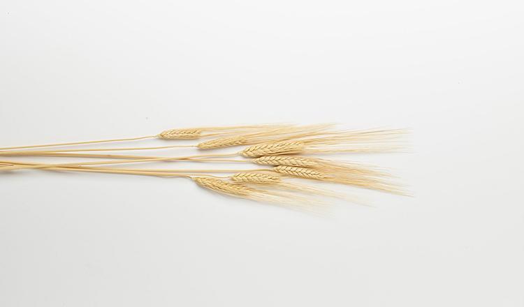 Stalks of wheat against white